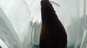 サンシャイン水族館のアシカ